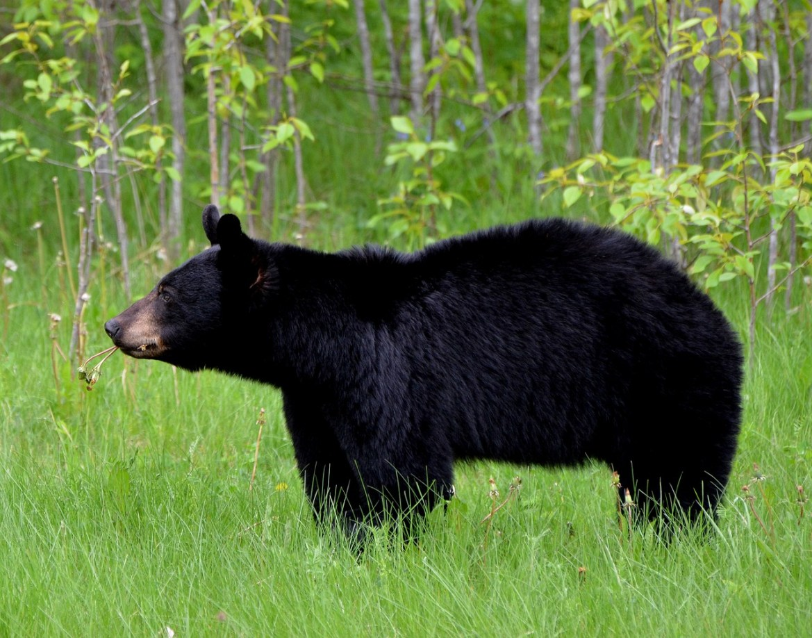 A black bear stands in profile in a field. It is distinguished by its tall rump, straight snout, and tall, curved ears.