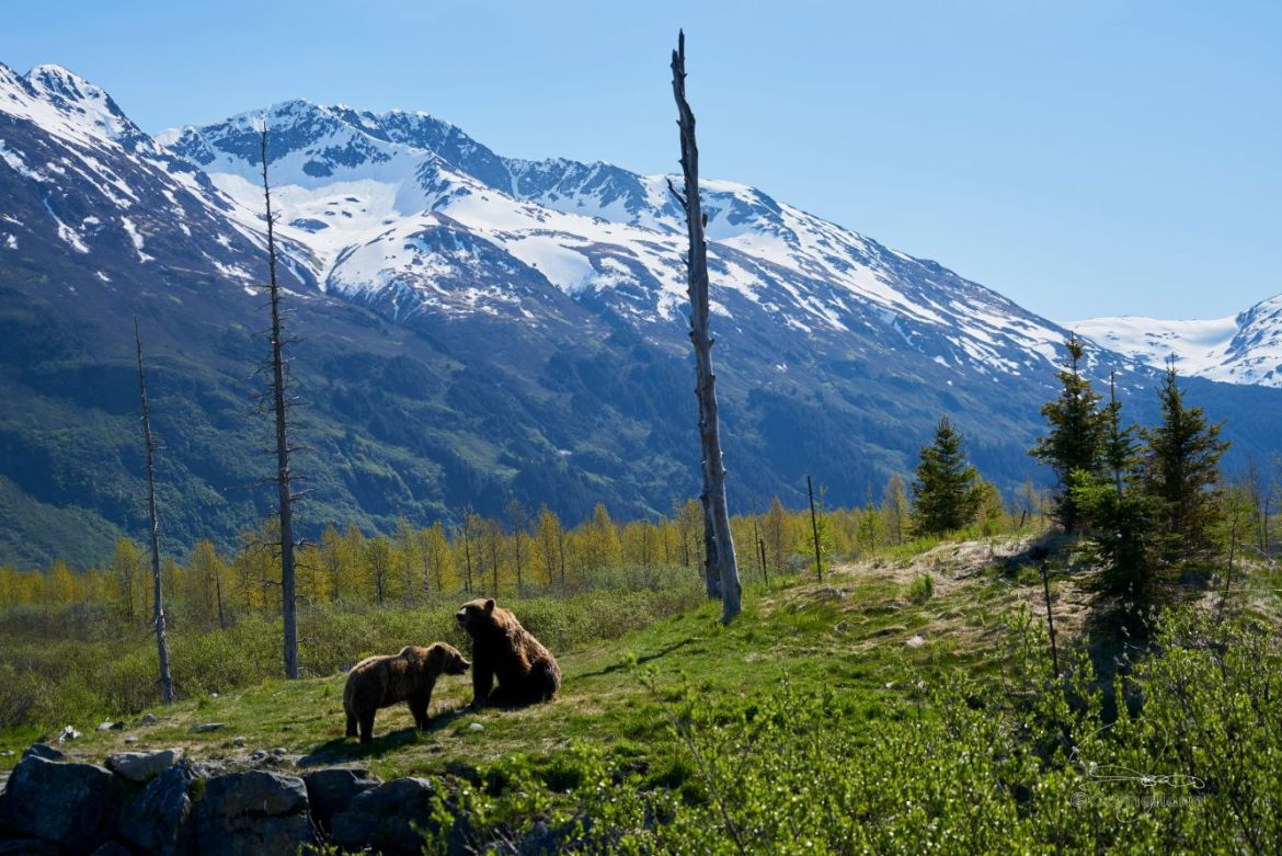 A grizzly mama and baby sit in a field in Alaska with snowcapped peaks looming behind.