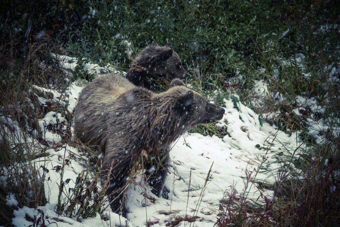 A mama and baby black bear stand in a field during a snowstorm.