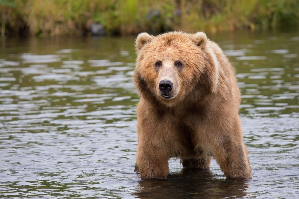A grizzly stands in a body of water looking towards the camera.