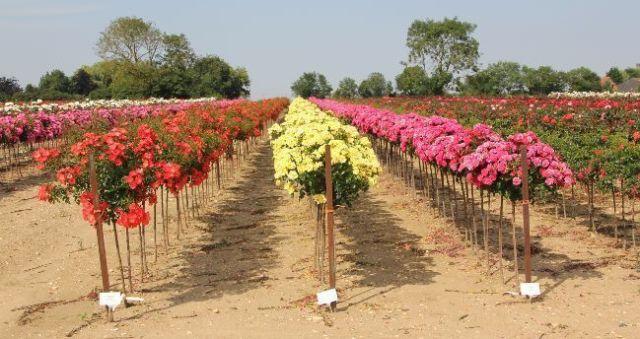 Rosal de copa, rosas standard
