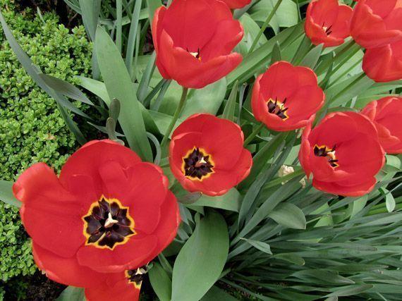 bulbos-primavera-tulipan