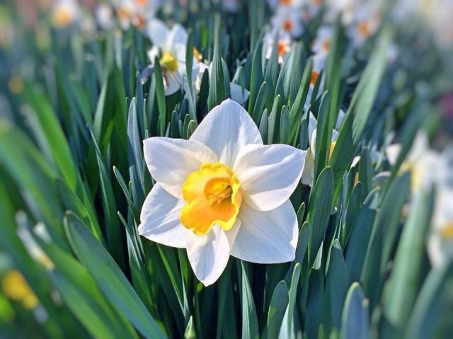 Narciso flor simbolismo valor