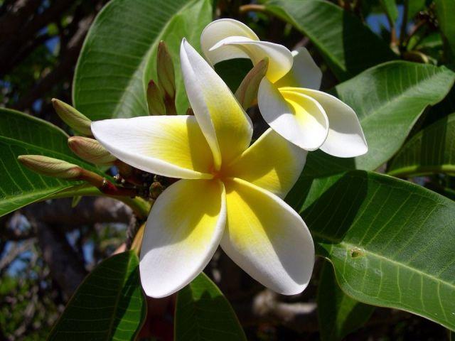 Plumeria amarilla