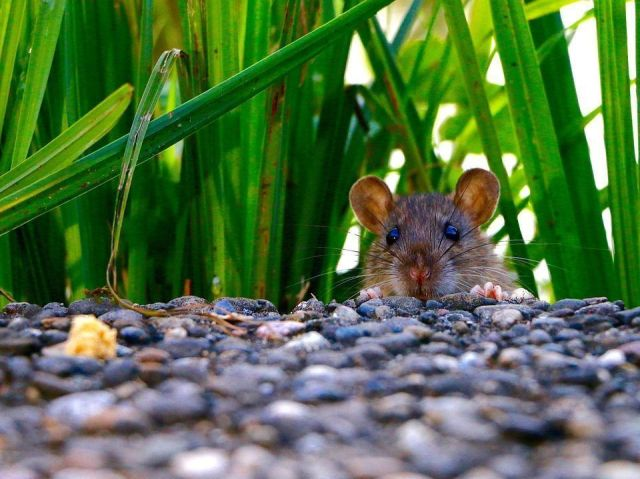 ahuyentar-ratones