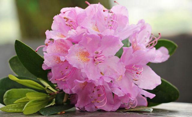 azalea-rosa
