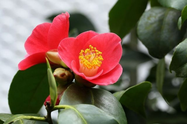 camellia-sasanqua-flor