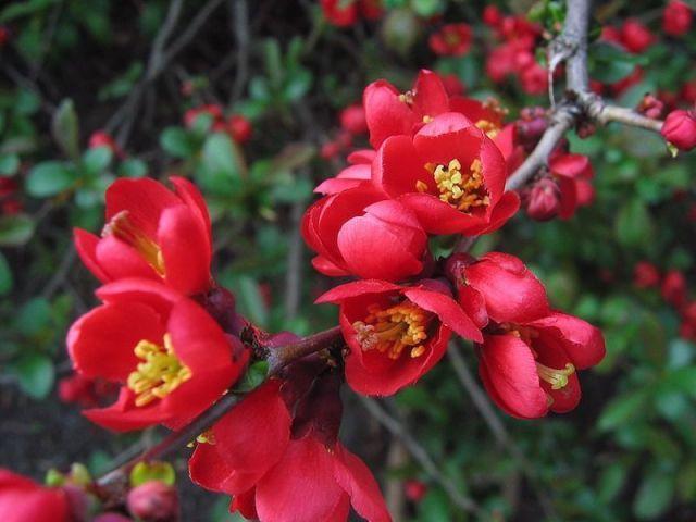 chaenomeles-japonica