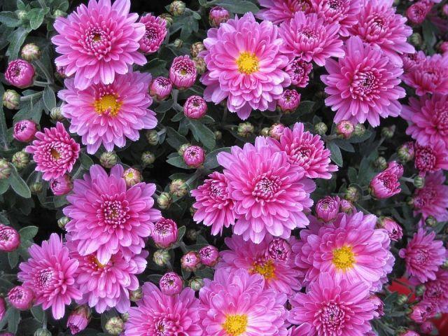 crisantemo-rosa