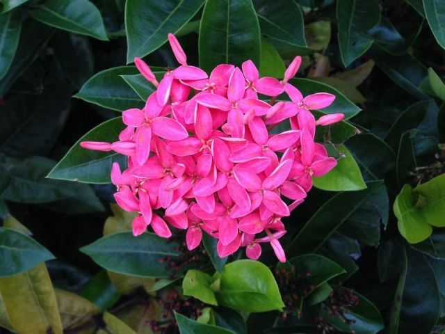 Pentas flores