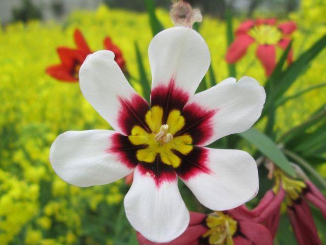 sparaxis-tricolor-flor-atractiva