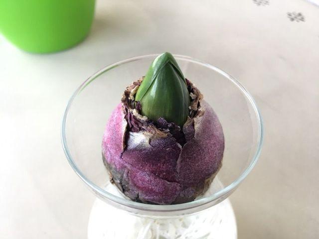 La punta del jacinto siempre hacia arriba