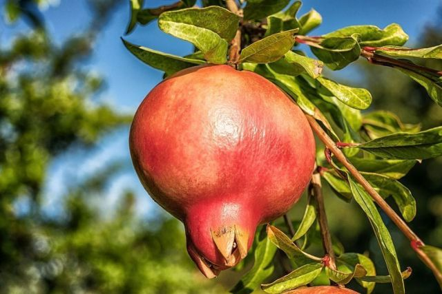pomegranate-1710078_960_720