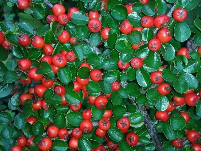 Cotoneaster dammeri fruto