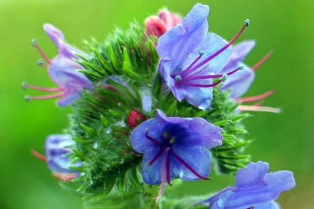 Echium plantagineum planta