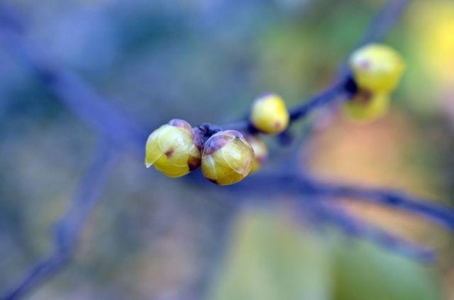 Chimonanthus praecox cuidados