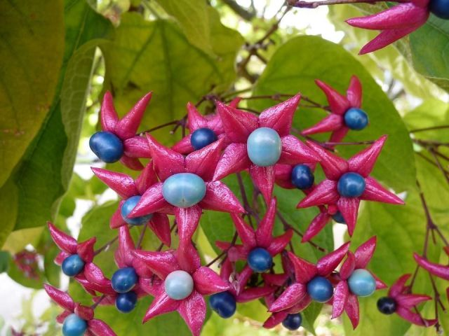 Clerodendrum trichotomum
