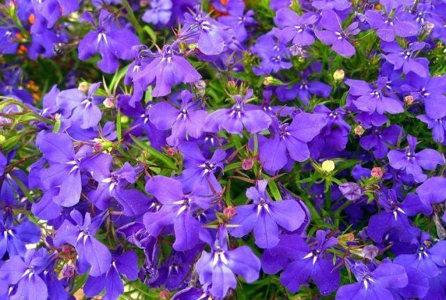 Lobelia violeta