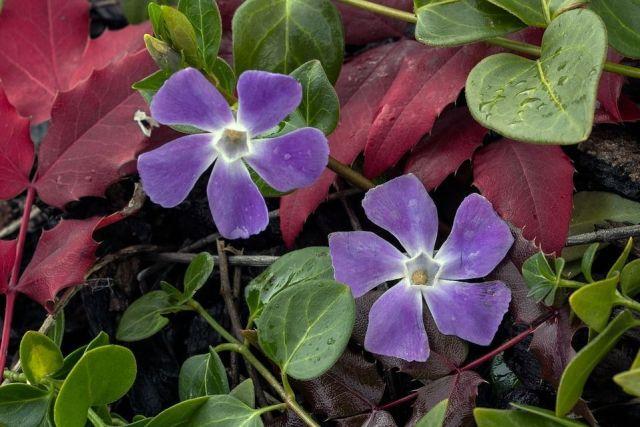 Vinca minor planta
