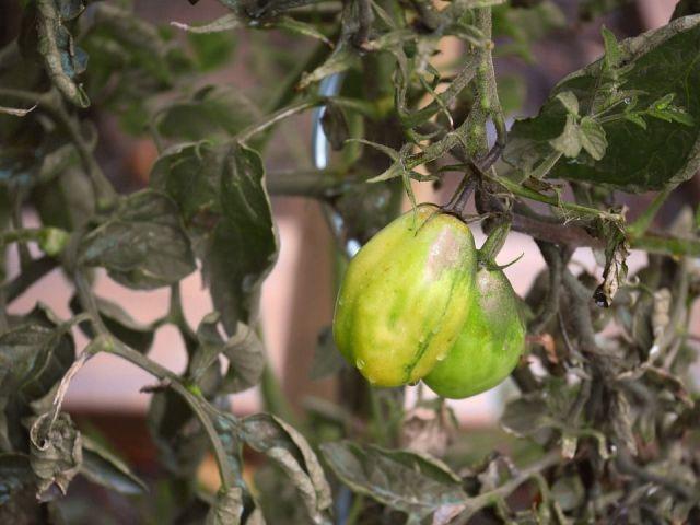 Podredumbre apical tomate