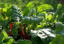 cultivar acelga