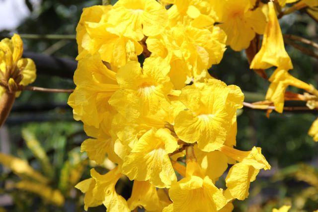 Roble amarillo