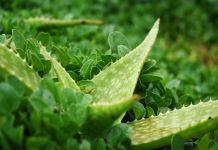 Aloe rauhii suculenta
