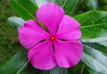 Catharanthus roseus planta