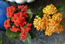 Kalanchoe blossfeldiana suculenta