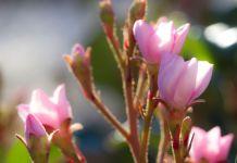Rafiolepis planta