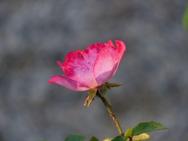 Secretos rosas