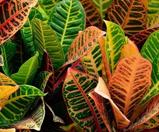 plantas variegadas