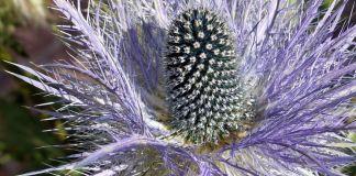 Eryngium planum plantas