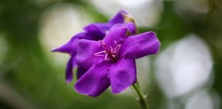 Tibouchina urvellina planta
