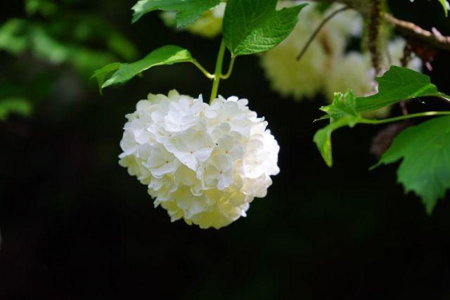 Viburnum opulus planta