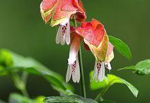 Beloperone Guttata planta