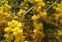 Especies de la Acacia