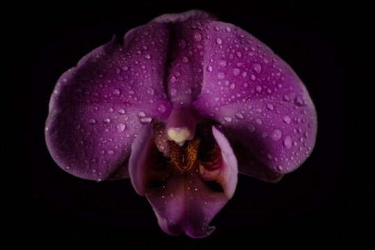 ultra violet orchid