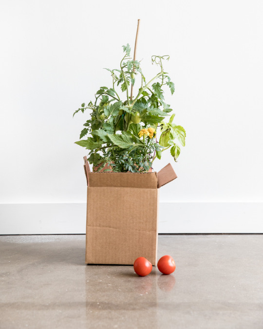 tomato plant with marigolds
