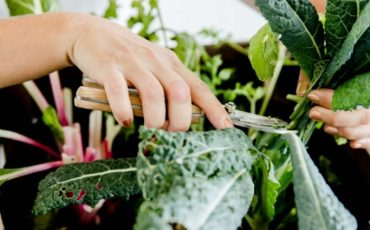 Harvesting fresh kale