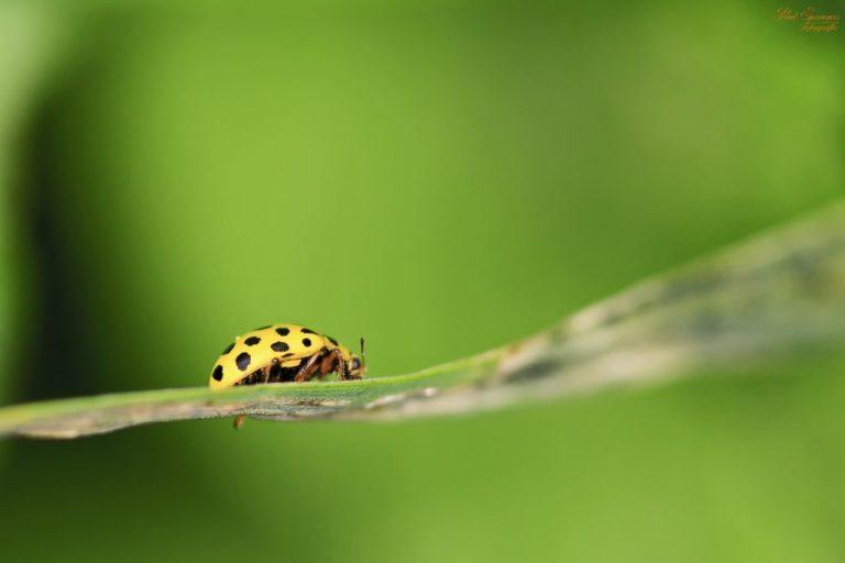 Common Garden Insect: Yellow Ladybug