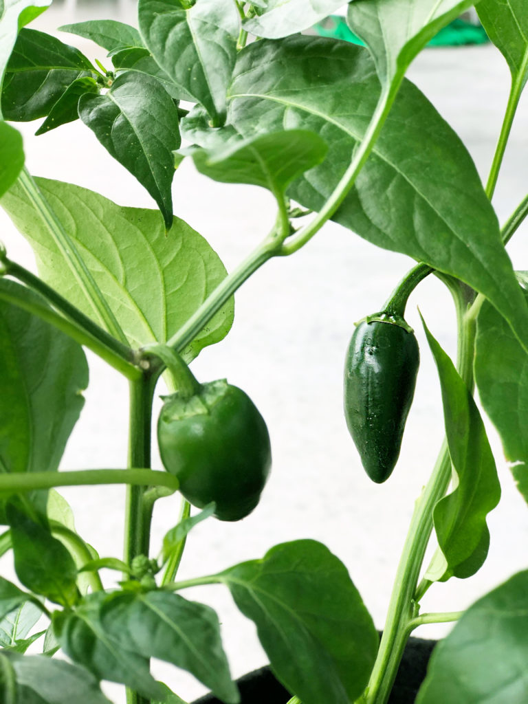 Pepper Plant Growing