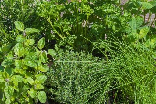 In Season Herbs Growing in a Herb Garden