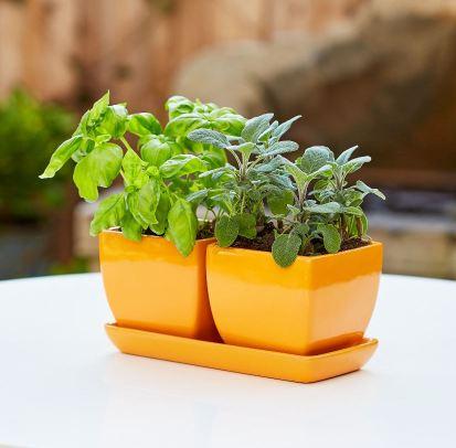 Herb Garden Growing in orange planters