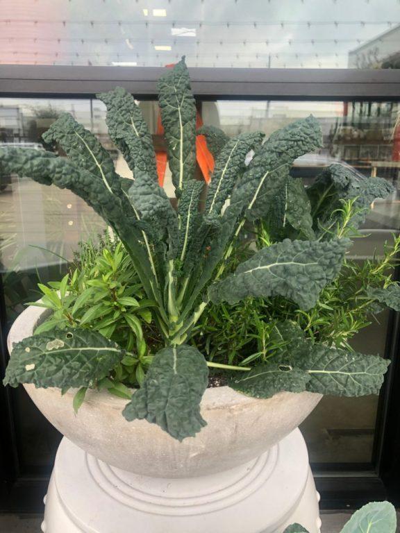 Kale Concrete Planter