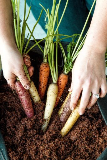 Growing Carrots for Spring