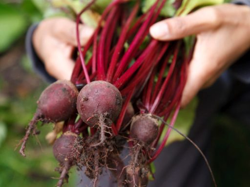 Beet Harvest for Container Gardening