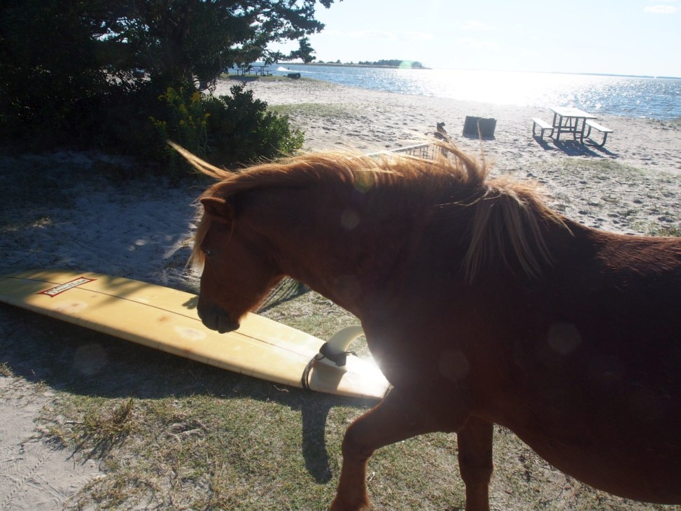 Assateague Island MD