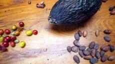 K'HO coffee farm: čerstvé zrná s kávovými bôbmi
