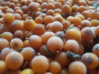 very pretty Sea Buckthorn berries, partially frozen